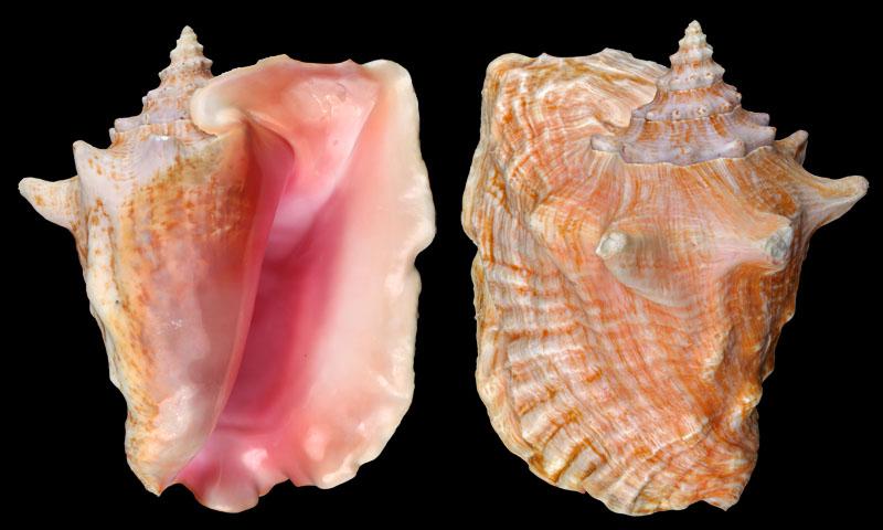 Taken from Stromboidea.de. Strombus Gigas